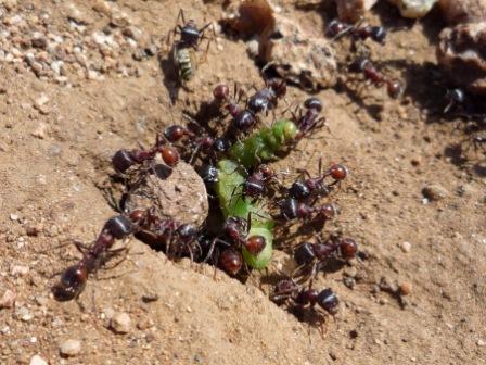 Ants_Eating_A_Caterpillar