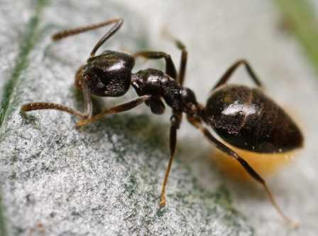BUGS_Odorous_Ants_0191