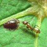 Linepithema(Hormiga argentina)