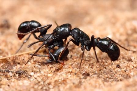 Cooperación y competencia en las hormigas » HORMIGAPEDIA