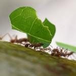 Hormiga corta hojas